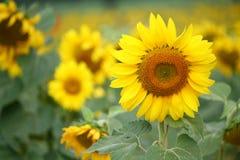 开花向日葵 图库摄影