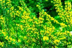 开花含羞草树金合欢pycnantha,金荆树关闭在春天,明亮的黄色花, coojong,金黄 免版税图库摄影