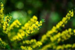 开花含羞草树金合欢pycnantha,金荆树关闭在春天,明亮的黄色花, coojong,金黄 免版税库存照片