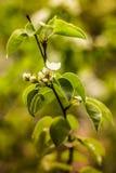 开花和叶子的分支梨 免版税库存图片