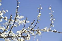 开花和芽 免版税库存照片