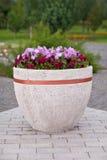 开花在一个大罐的喇叭花在公园背景 库存图片