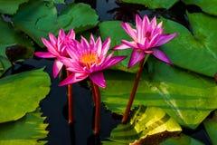 开花在一个小池塘的莲花 免版税库存照片
