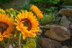 开花在一个庭院里的向日葵在夏天 库存图片