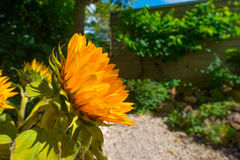 开花在一个庭院里的向日葵在夏天 免版税图库摄影