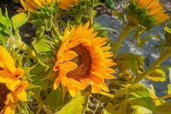开花在一个庭院里的向日葵在夏天 免版税库存图片