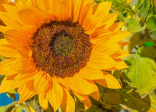 开花在一个庭院里的向日葵在夏天 免版税库存照片
