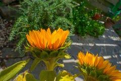 开花在一个庭院里的向日葵在夏天 库存照片