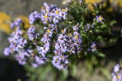 开花在一个庭院里的雏菊花在瑞典 免版税库存图片