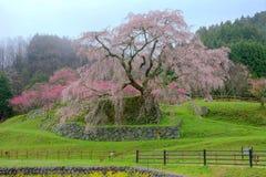 开花在一个有雾的春天庭院里的一棵巨型樱桃树 免版税图库摄影