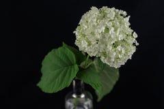 开花在一个花瓶的黑背景隔绝的八仙花属有c的 库存图片