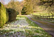 开花在一个象草的边界的Snowdrops和番红花 免版税库存图片