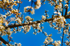 开花在一个晴天在春天 免版税库存照片