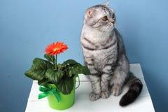 开花在一只白色桌和灰色猫上的一个罐 免版税库存照片