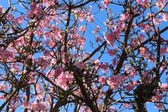 开花在一棵树的桃红色花在春天 免版税库存图片