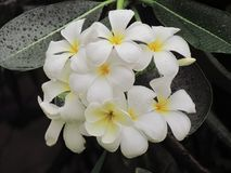 开花在与小滴的树的羽毛flowerer的关闭在雨以后做刷新 免版税图库摄影