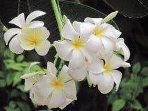 开花在与小滴的树的羽毛flowerer的关闭在雨以后做刷新 图库摄影