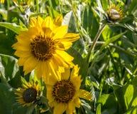 开花在中央俄勒冈的Balsamroot野花 库存照片