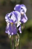 开花在五颜六色的背景由后照的紫色虹膜 免版税图库摄影