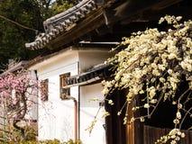 开花在传统日本房子庭院里的洋李  免版税图库摄影