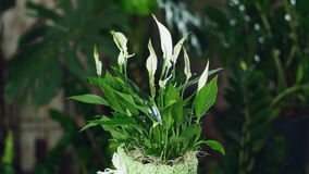 开花在光的Spathiphyllum,自转, 股票录像
