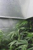 开花在光(Whiteballanced)下的大麻 免版税库存照片