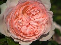 开花在公园的一朵淡粉红的玫瑰 免版税图库摄影