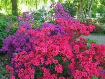 开花在公园的杜鹃花 免版税库存图片