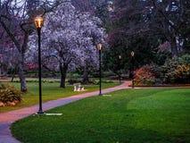 开花在公园的樱桃树在黑暗以后 库存图片