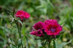 开花在公园的秋天红色花 免版税库存照片