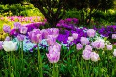 开花在公园的郁金香花 免版税图库摄影