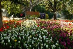开花在公园的郁金香 免版税库存照片