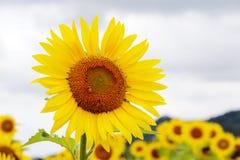 开花在农场的向日葵 免版税库存图片