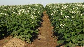 开花在农村的领域的土豆植物 土豆行在领域的 股票录像