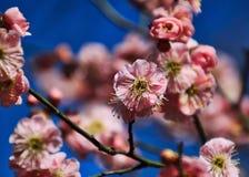 开花在冬天的樱花在华盛顿晒干,装饰纪念品, D C 免版税库存照片