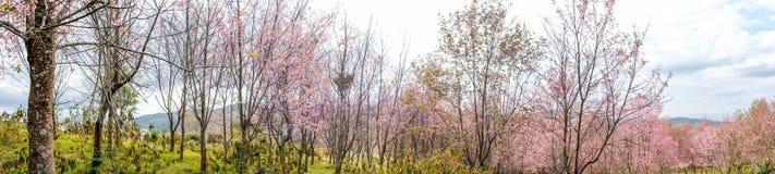 开花在冬天的狂放的喜马拉雅樱桃blossomsPrunus cerasoides在Phu Lom Lo, Kok Sathon,丹Sai区, Loei,泰国 免版税库存图片