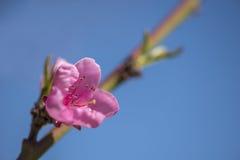 开花在分支的桃红色花 免版税库存照片