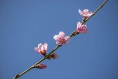 开花在分支的桃红色花 库存图片