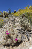 开花在加利福尼亚沙漠的仙人掌和野花在春天 库存照片
