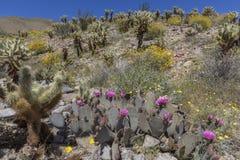 开花在加利福尼亚沙漠的仙人掌和野花在春天 免版税库存照片