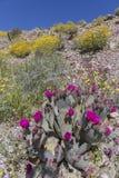 开花在加利福尼亚沙漠的仙人掌和野花在春天 免版税图库摄影