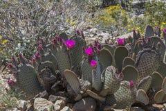 开花在加利福尼亚沙漠的仙人掌和野花在春天 图库摄影