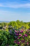 开花在劳动节的紫色淡紫色灌木。城市公园 库存照片