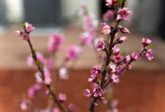 开花在后院庭院的桃子 免版税图库摄影