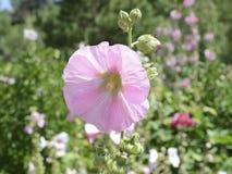 开花在四季不断的庭院里的蜀葵 库存照片