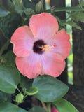 开花在国家庭院里的木槿 库存图片