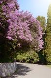 开花在城市植物的公园的淡紫色灌木 库存照片