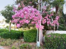 开花在城市的木棉树 免版税库存图片