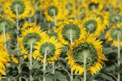 开花在域的向日葵 免版税库存图片