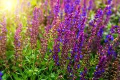 开花在域的淡紫色花在夏天期间 免版税库存图片